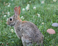 Photo of a bunny in the grass with Easter eggs. A bunny rabbit sitting in the grass with two decorated eggs sitting next to him Royalty Free Stock Photos