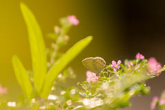 Photo of butterfly and pink tree flower with sunlight Royalty Free Stock Photography