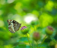 Photo of a butterfly on thorn burdock Royalty Free Stock Photography