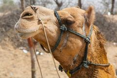 Profile of a happy camel stock image