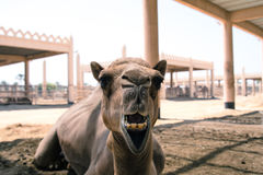 Camel. A photo of a camel from a camel farm in Bahrain Royalty Free Stock Photos