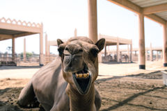 Camel. A photo of a camel from a camel farm in Bahrain Stock Image