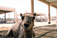 Camel. A photo of a camel from a camel farm in Bahrain Stock Photography