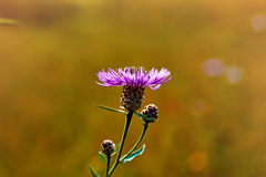 Photo of camomiles on blurred background. With light royalty free stock photography