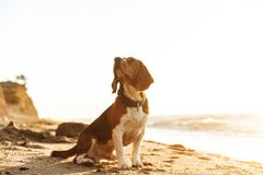 Photo of canine dog with collar, sitting on sand by seaside in the morning. Photo of canine dog with collar sitting on sand by seaside in the morning royalty free stock photography