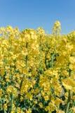 Photo of canola, rapeseed flower Stock Photo