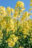 Photo of canola, rapeseed flower Stock Photography