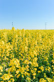 Photo of canola, rapeseed flower Royalty Free Stock Images