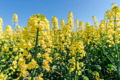 Photo of canola, rapeseed flower Royalty Free Stock Photo