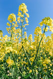 Photo of canola, rapeseed flower Stock Images