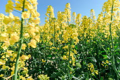 Photo of canola, rapeseed flower Royalty Free Stock Photos
