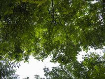Photo of the canopy with sunlight shining through the leaves. An incredible photo of the canopy with sunlight shining through the leaves royalty free stock image