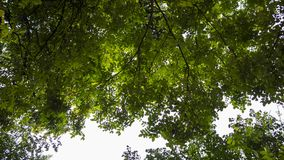 Photo of the canopy with sunlight shining through the leaves. An incredible photo of the canopy with sunlight shining through the leaves stock photography