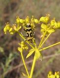 Photo of capricorn beetle. Chlorophorus varius Royalty Free Stock Image
