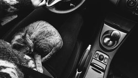 Photo of a cat travelling in a car. Black and white photo. Cat sleeping on lap Stock Photos