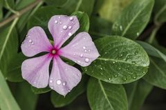 Catharanthus roseus flower pink with water drops in detail. Photo of Catharanthus roseus flower pink with water drops in detail Royalty Free Stock Photography