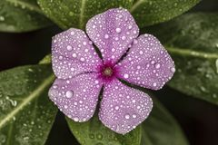 Catharanthus roseus flower pink with water drops in detail. Photo of Catharanthus roseus flower pink with water drops in detail Stock Image