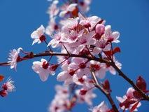 Photo of Cherry Blossom Stock Photo