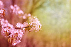 Photo cherry blossoms Royalty Free Stock Photography