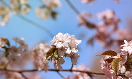 Photo cherry blossoms Stock Image