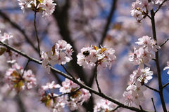 Photo cherry blossoms Royalty Free Stock Photos