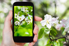 Photo of cherry blossoms in spring forest Royalty Free Stock Photo