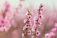 Photo of the cherry branches Royalty Free Stock Images