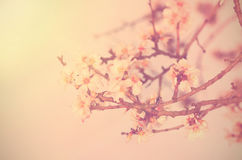 Photo of cherry flower Royalty Free Stock Photography