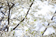 Photo of cherry tree flowers Royalty Free Stock Images
