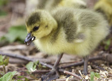 photo of a chick of Canada geese Royalty Free Stock Images