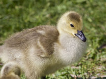Photo of a chick of the Canada geese Royalty Free Stock Photo