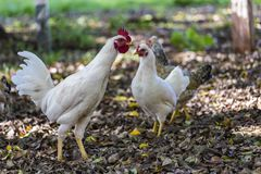 Chickens walking in the countryside. Photo of Chickens walking in the countrysiden stock image