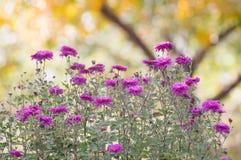 Beautiful chrysanthemum flowers Stock Photos