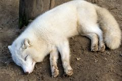 Photo from a close distance puppy polar white wolf stock photo
