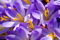 Photo close small spring flowers crocuses. They can be white, purple, yellow Royalty Free Stock Photography