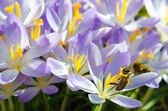 Photo close small spring flowers crocuses Royalty Free Stock Photos