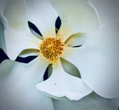 Southern Magnolia Bloom royalty free stock photo