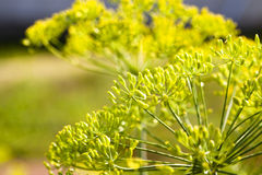 Fennel - Royalty Free Stock Image