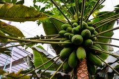 Papaya tree with fruits. Photo close up of papaya tree with green fruits Stock Photography