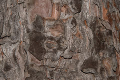Photo of close up of pine tree bark brown. Photo of close up of pine tree bark Royalty Free Stock Photography