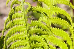 Leaf of fern. Photo of a close-up of two sheets of fern in the summer. some of the leaves are broken and dry, have a shabby appearance Stock Images