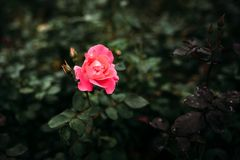 Photo of closeup pink rose with water drops and dark green leaves growing in garden with shallow Depth of Field. Photo of closeup pink rose with water drops and royalty free stock photos