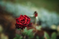 Photo of closeup red rose with water drops and dark green leaves growing in garden with shallow Depth of Field. Photo of closeup red rose with water drops and stock photo