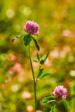 Photo of clover on natural blurred background stock image