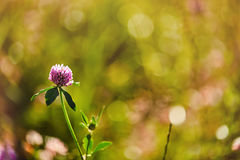 Photo of clover on natural blurred background stock photos