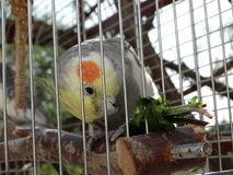 Cockatiel / yellow, grey red parrot eating plant / healthy food. stock photography
