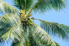 Photo of coconuts and coconut tree.  Stock Photo