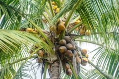 Photo of coconuts and coconut tree.  Royalty Free Stock Photography