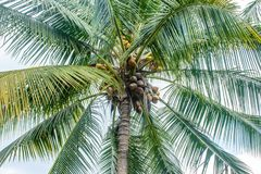 Photo of coconuts and coconut tree.  Stock Image