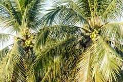 Photo of coconuts and coconut tree.  Royalty Free Stock Photo